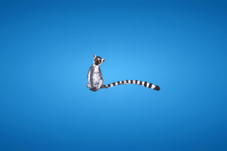 Lemur On Blue Background Picture for Android, iPhone and iPad