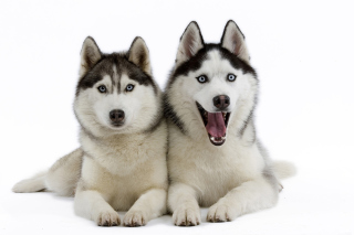 Siberian Huskies Background for Android, iPhone and iPad