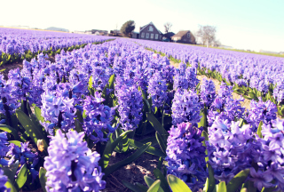 Free Hyacinth Field Picture for Nokia X2-01