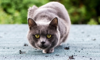 Gray Cat Wallpaper for Android, iPhone and iPad