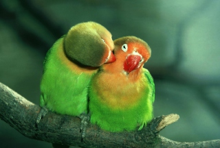 Parrots Love Wallpaper for Android, iPhone and iPad