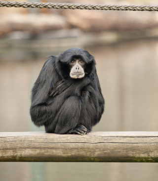 Siamang Background for 240x320