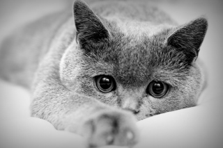 British Shorthair Cat sfondi gratuiti per cellulari Android, iPhone, iPad e desktop