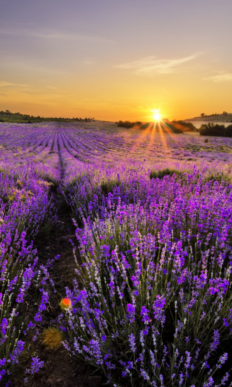 Sfondi Sunrise on lavender field in Bulgaria 768x1280