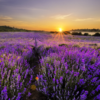 Kostenloses Sunrise on lavender field in Bulgaria Wallpaper für 320x320