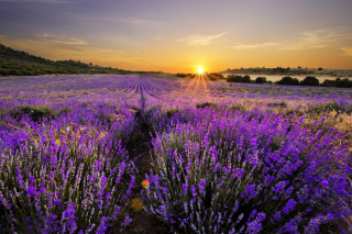 Kostenloses Sunrise on lavender field in Bulgaria Wallpaper für Android, iPhone und iPad