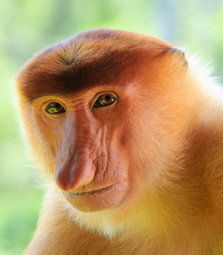 Long-Nosed Monkey Picture for 240x320