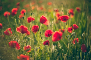 Poppies Meadow sfondi gratuiti per cellulari Android, iPhone, iPad e desktop