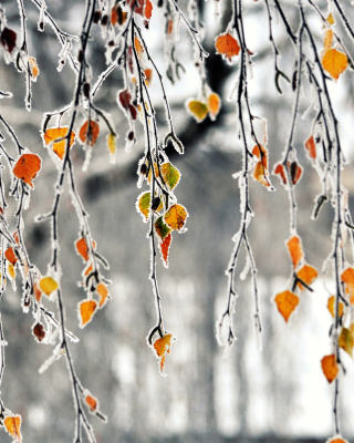 Kostenloses Autumn leaves in frost Wallpaper für 320x480
