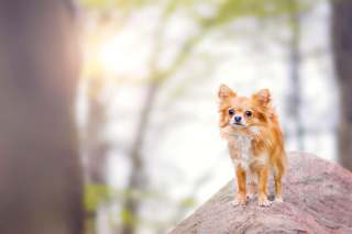Free Pomeranian Puppy Spitz Dog Picture for Android, iPhone and iPad