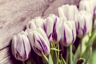 Purple Tulips Picture for Android, iPhone and iPad