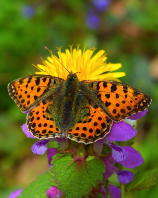 Spring Butterfly Macro Background for 480x640