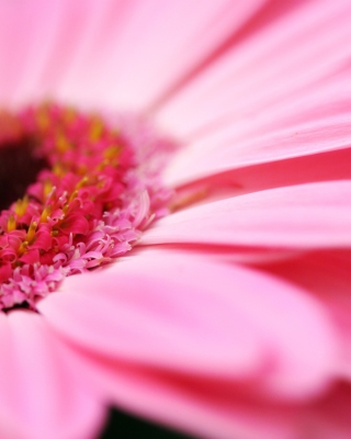 Pink Gerbera Close Up Background for Nokia C1-01
