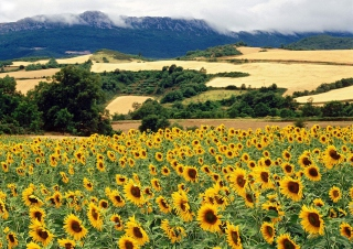 Sunflower Field Wallpaper for Android, iPhone and iPad