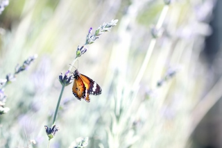 Butterfly On Wild Flowers Wallpaper for Android, iPhone and iPad