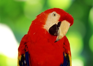 Red Parrot Background for Android, iPhone and iPad