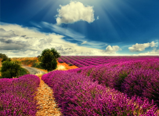 Lavender Wallpaper for Android, iPhone and iPad