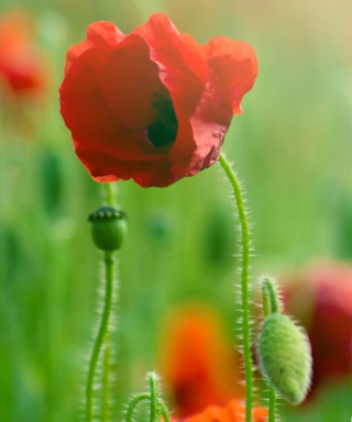 Red Poppy Macro papel de parede para celular para HTC Touch Diamond