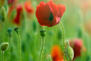 Red Poppy Macro Background for Android, iPhone and iPad
