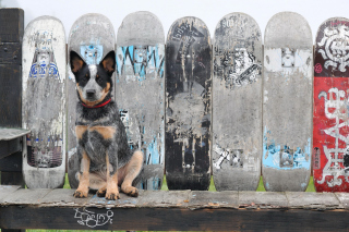 Australian Cattle Dog Background for Android, iPhone and iPad