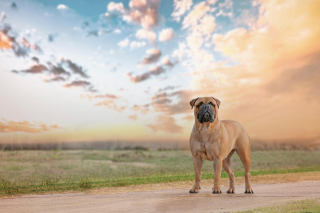 Bullmastiff Wallpaper for Android, iPhone and iPad
