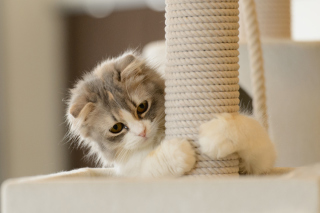 Kostenloses Cute Grey With White Kitten Wallpaper für Android, iPhone und iPad