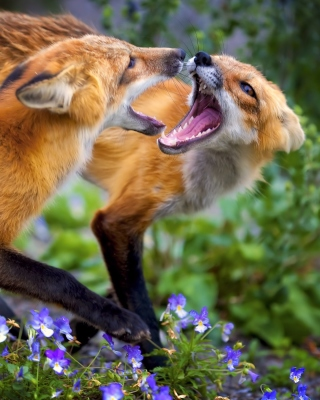 Fox Family Wallpaper for Nokia Asha 306