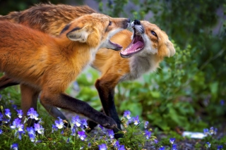 Free Fox Family Picture for Android, iPhone and iPad