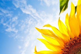 Free Sunflower And Sky Picture for Android, iPhone and iPad