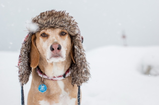 Free Dog In Winter Hat Picture for Android, iPhone and iPad