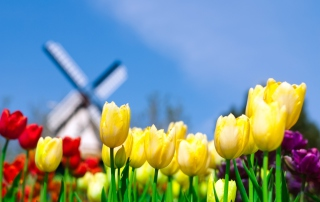 Free Keukenhof Holland Tulips Park Picture for Android, iPhone and iPad