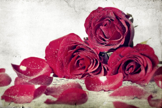 Free Roses Fresh Dew Picture for Android, iPhone and iPad