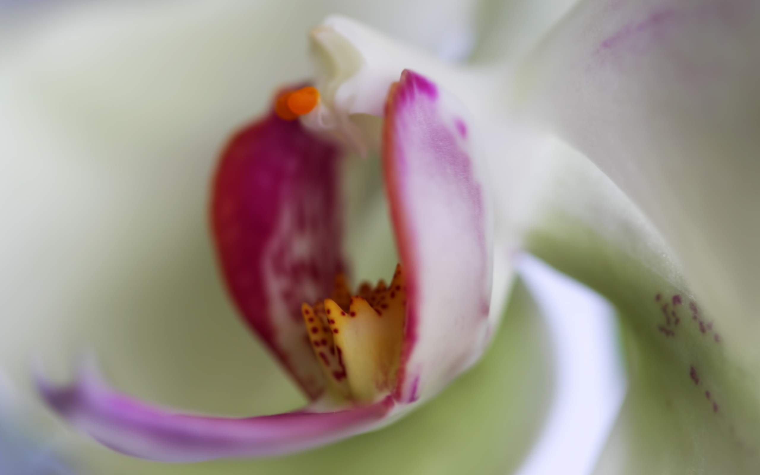 Orchid wallpaper 2560x1600