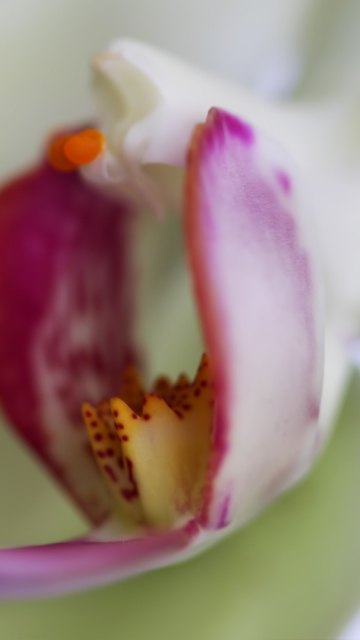 Orchid wallpaper 360x640