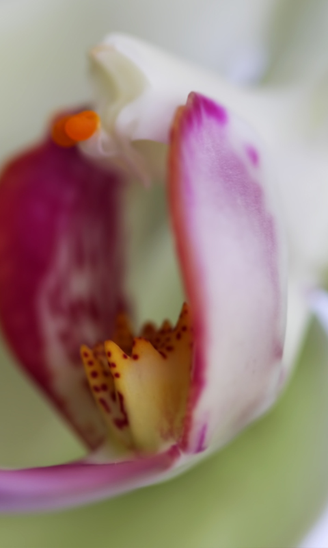 Orchid wallpaper 480x800