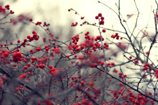 Free Small Red Berries Picture for Android, iPhone and iPad