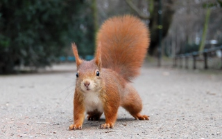 Squirrel Close Up sfondi gratuiti per cellulari Android, iPhone, iPad e desktop