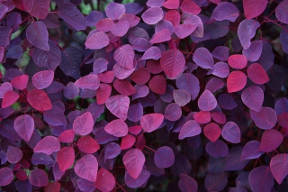 Pink And Violet Leaves Background for Android, iPhone and iPad