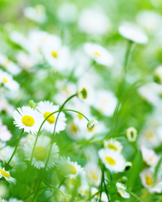 Daisy Meadow Background for 768x1280