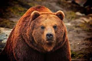 Big Brown Bear Background for Android, iPhone and iPad