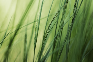 Free Tall Green Grass Picture for Android, iPhone and iPad
