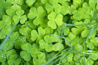 Free Clover And Dew Picture for Android, iPhone and iPad