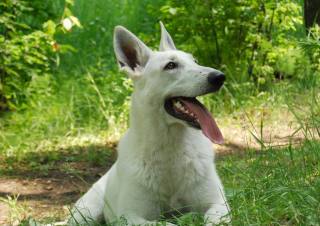 Free Berger Blanc Dog Picture for Android, iPhone and iPad