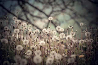 Field Of Dandelions sfondi gratuiti per cellulari Android, iPhone, iPad e desktop