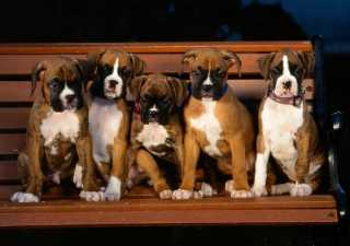 Kostenloses Boxer Dog Puppies Wallpaper für Android, iPhone und iPad