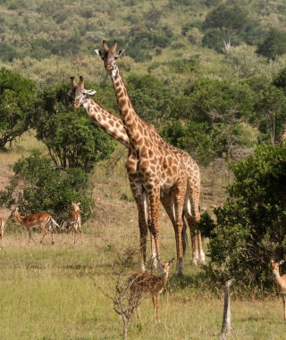 Free Giraffes At Safari Picture for Nokia C1-01
