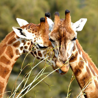 Giraffe Love Wallpaper for iPad mini