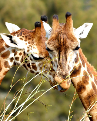 Free Giraffe Love Picture for Nokia C1-01