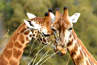 Free Giraffe Love Picture for Android, iPhone and iPad