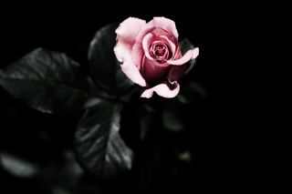 Pink Rose In The Dark - Obrázkek zdarma pro Android 960x800